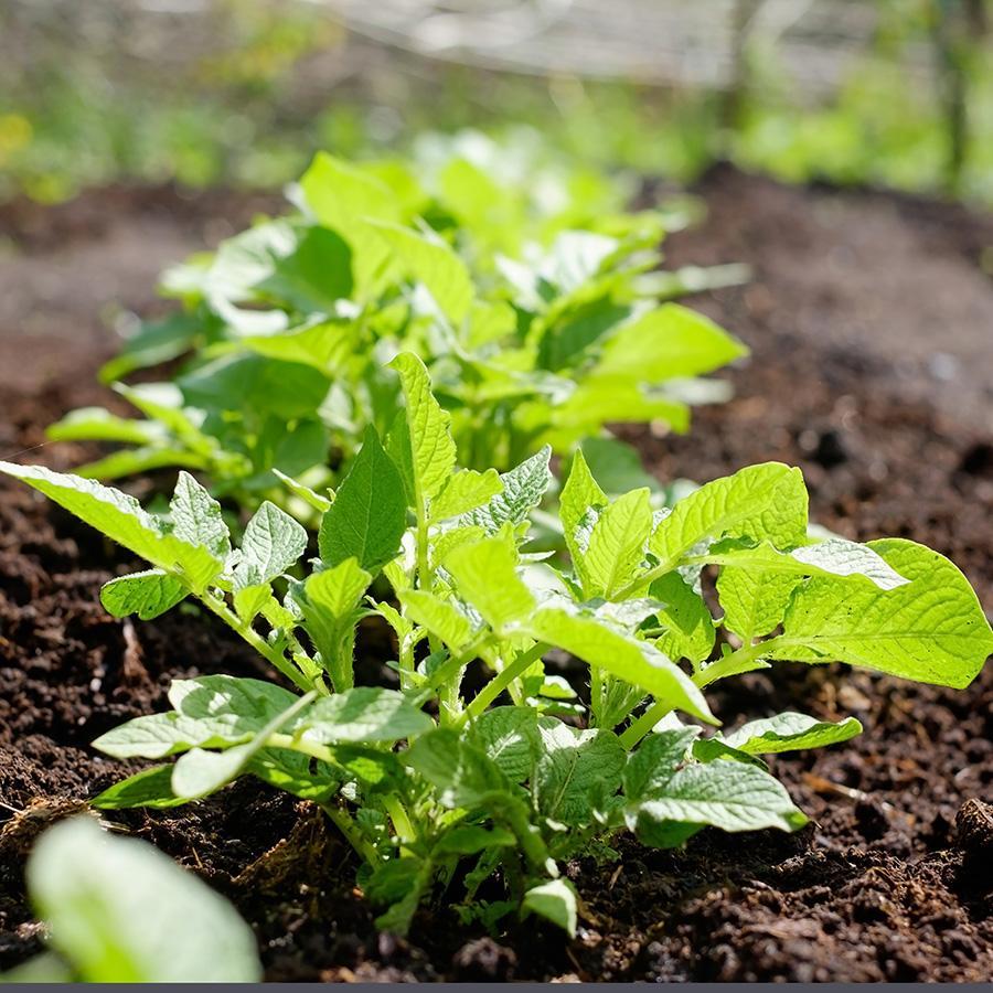 ejamu orto pianta patate