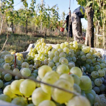 ejamu uva bianca vendemmia